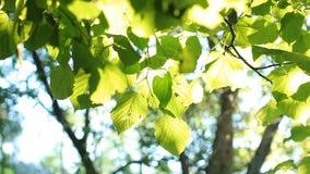 Heldergroene die bladeren op een boom, door de zon wordt aangestoken stock footage