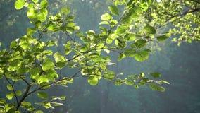 Heldergroene die bladeren op een boom, door de zon wordt aangestoken Zonsondergang in het de zomerpark stock footage