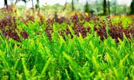 Heldergroene Knol zwaard-varen Nephrolepis-cordifolia Stock Afbeeldingen