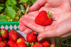 Helds sélectionnés frais de strawberrie dans des mains ouvertes Photos libres de droits