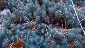 Helecho azul Imagen de archivo libre de regalías