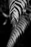 Helecho blanco y negro Fotos de archivo