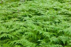 Helecho brumoso verde Foto de archivo libre de regalías