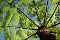 Helecho de árbol Fotografía de archivo