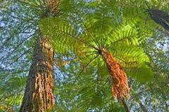 Helecho de árbol en alrededores de la selva Foto de archivo