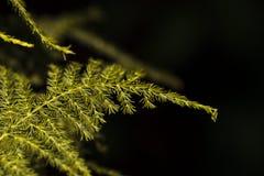 Helecho de espárrago verde claro Imagen de archivo