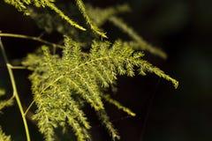 Helecho de espárrago verde claro Foto de archivo libre de regalías