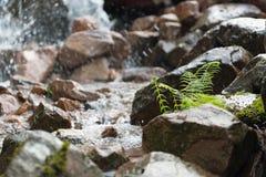 Helecho de la corriente de la montaña Foto de archivo