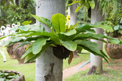 Helecho de la jerarquía del pájaro, helecho tropical Foto de archivo libre de regalías