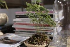 Helecho de los bonsais Fotos de archivo