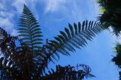 Helecho de Nueva Zelanda Fotografía de archivo libre de regalías