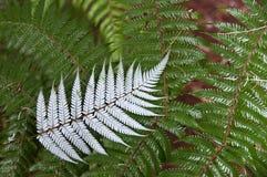 Helecho de plata Nueva Zelandia Fotos de archivo