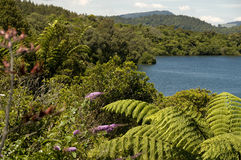 Helecho de Punga por el lago Fotografía de archivo