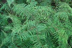 Helecho decorativo de la palma de la selva tropical nativa australiana Imagenes de archivo
