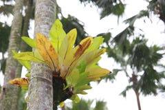Helecho del Aspleniaceae Foto de archivo libre de regalías
