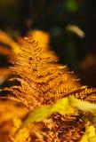 Helecho del otoño Fotografía de archivo libre de regalías