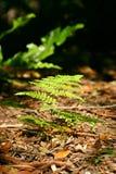 Helecho del suelo del bosque Imagen de archivo libre de regalías