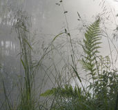 Helecho e hierba en la niebla Fotografía de archivo libre de regalías