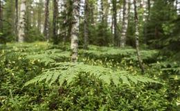 Helecho herbáceo perenne del aquilinum común del Pteridium de Orlyak adentro Fotografía de archivo