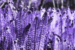 Helecho - hojas y rizos en un concepto de moda del color del ultravioleta del año El color de la moda tiende en los papeles pinta Imágenes de archivo libres de regalías