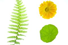 Helecho, margarita amarilla, hoja Imagenes de archivo