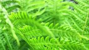 Helecho que crece en el bosque Naturaleza verde Frondas del helecho fresco, verde y duro primer almacen de video
