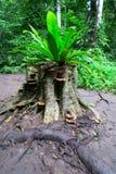 Helecho que crece en un tocón de árbol en la selva Imágenes de archivo libres de regalías