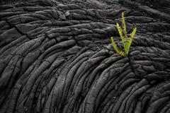 Helecho que crece en viejo campo de lava Imagenes de archivo