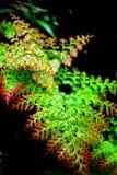 Helecho rojo y verde de la hoja Imágenes de archivo libres de regalías
