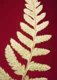 Helecho secado Foto de archivo libre de regalías