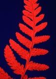 Helecho secado con el filtro rojo Imagen de archivo