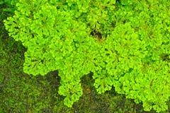 Helecho verde. Foto de archivo libre de regalías