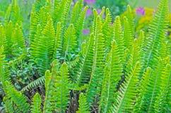 Helecho verde Imagen de archivo libre de regalías