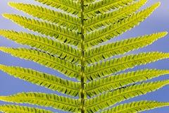 Helecho verde de la hoja imagenes de archivo