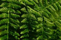 Helecho verde de la hoja en la belleza natural del rocío de la mañana Fotografía de archivo