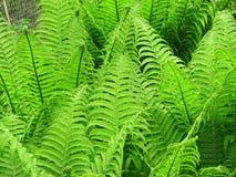 Helecho verde del helecho Fotografía de archivo libre de regalías