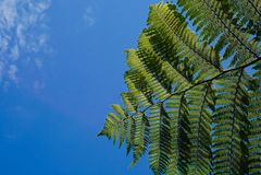 Helecho verde en cielo azul en Nueva Zelanda imagen de archivo