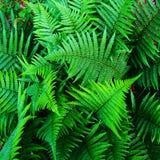 Helecho verde hermoso Fotos de archivo libres de regalías