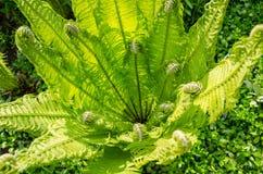 Helecho verde joven iluminado por el sol hermoso imágenes de archivo libres de regalías