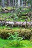 Helecho y árboles caidos en un bosque del viejo-crecimiento Foto de archivo libre de regalías