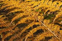 Helechos 2 del otoño Imágenes de archivo libres de regalías