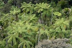 Helechos de árbol en selva tropical Foto de archivo