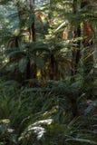Helechos de árbol en selva tropical Fotos de archivo libres de regalías