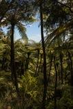 Helechos de árbol negro que crecen en selva tropical Fotos de archivo libres de regalías