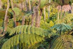 Helechos de árbol negro que crecen en selva tropical Fotografía de archivo