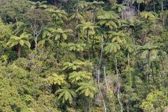 Helechos de árbol que crecen en selva tropical Imagen de archivo