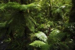 Helechos de árbol de la selva tropical Imagenes de archivo