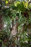 Helechos de Staghorn en árboles de la selva tropical Fotografía de archivo