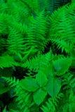 Helechos del bosque Fotos de archivo