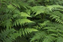 Helechos en el bosque Imagen de archivo libre de regalías